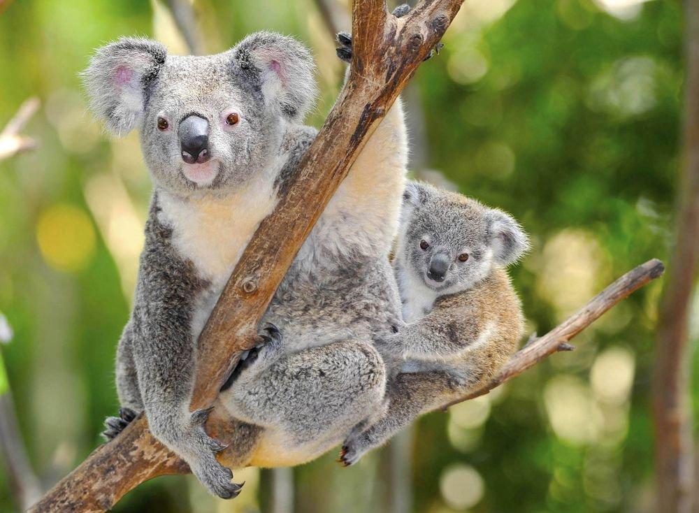 z15271821IHMisie koala zywa wizytow