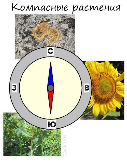 растения компасы